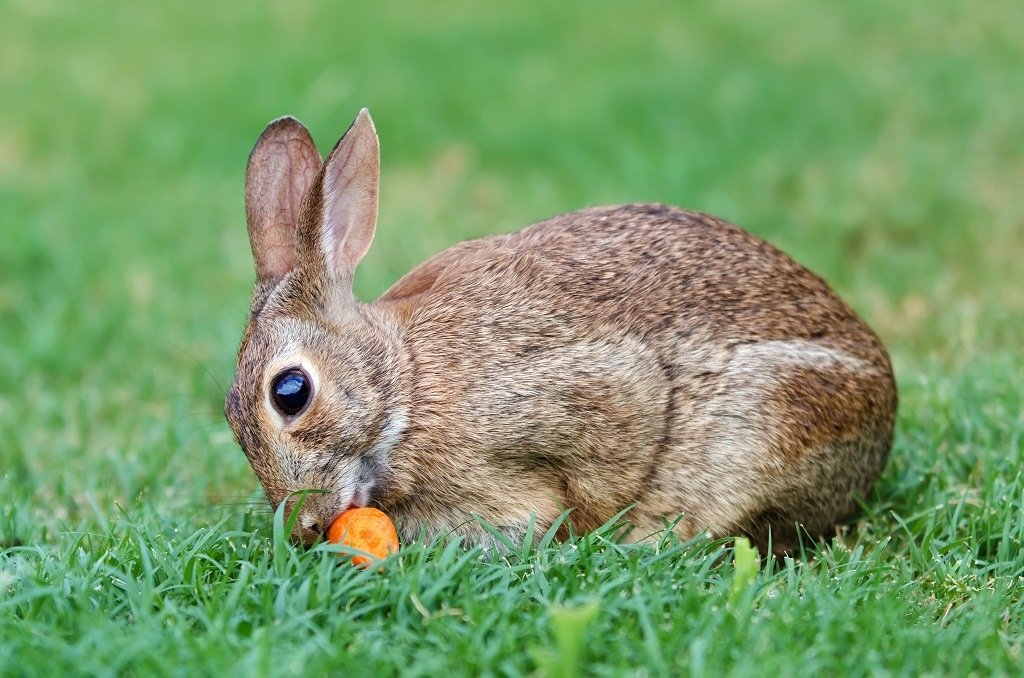rabbit eating an orange thing