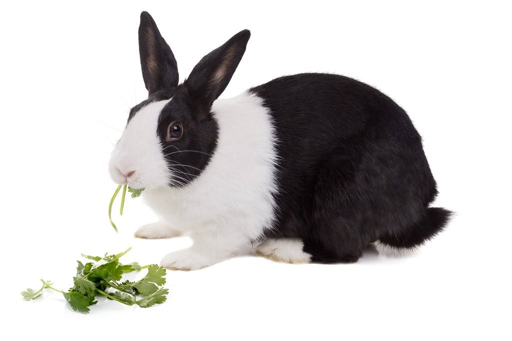 rabbit eating cilantro in white background