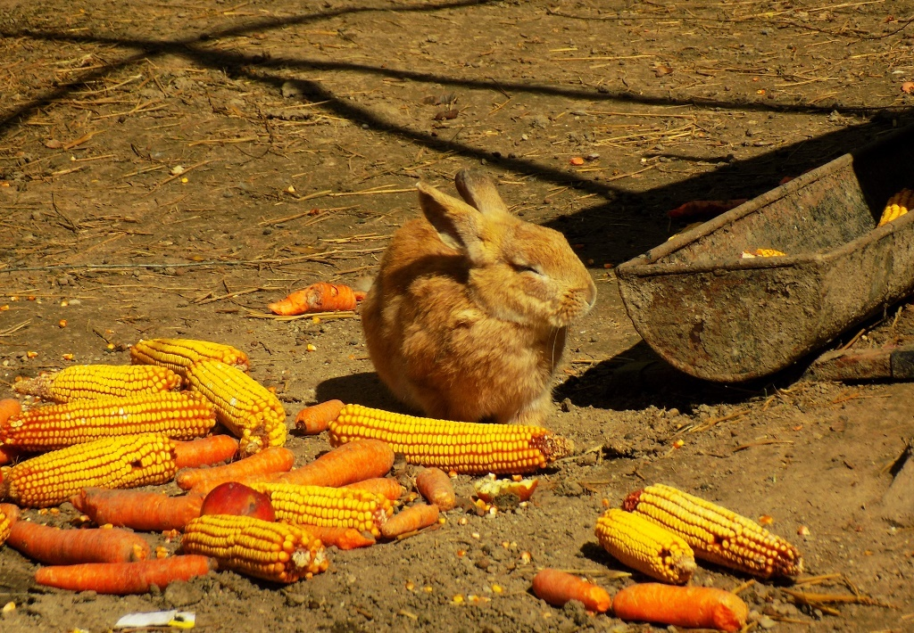rabbit eating corns and carrots