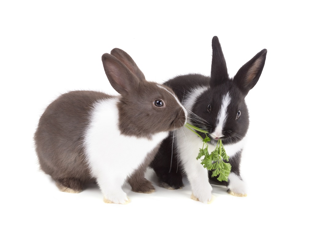 rabbits eating a kale leaf