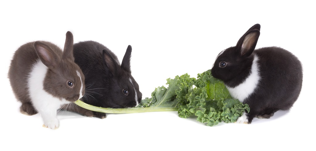 rabbits eating kale