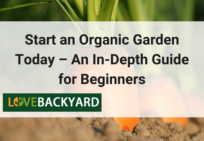 organic gardening-ready to harvest carrots