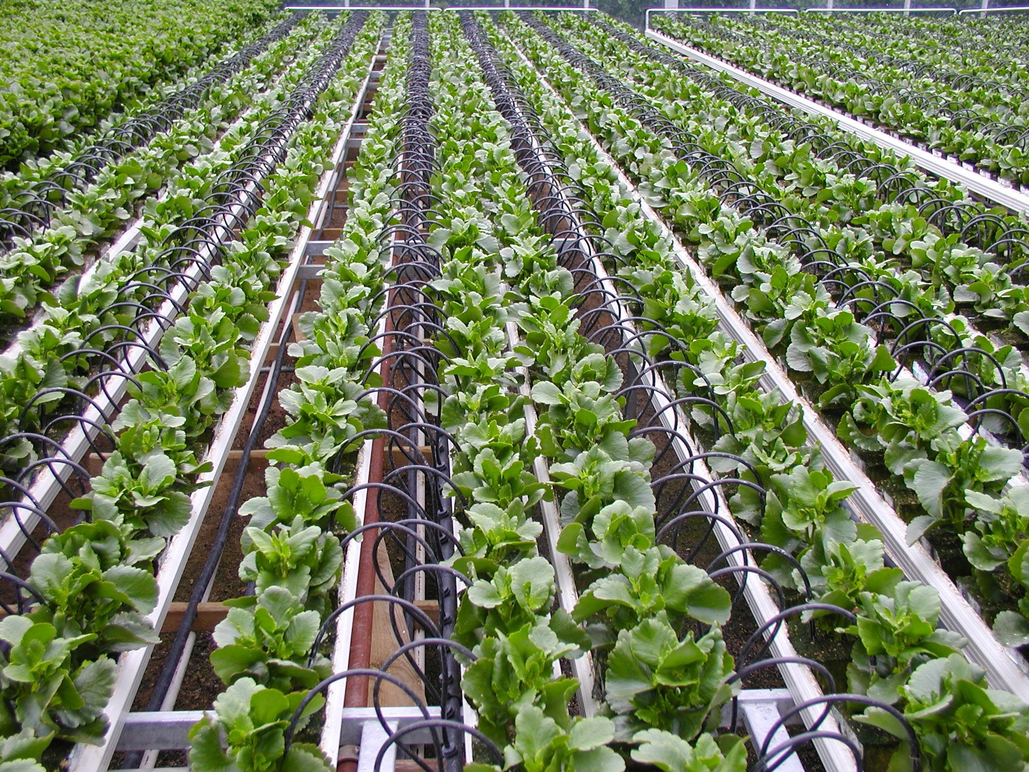 Pot irrigation by On-line drippers of vegetables as an example of Deep Water Culture