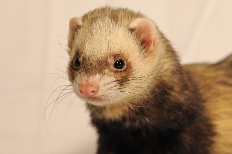 recommended ferrets vaccines