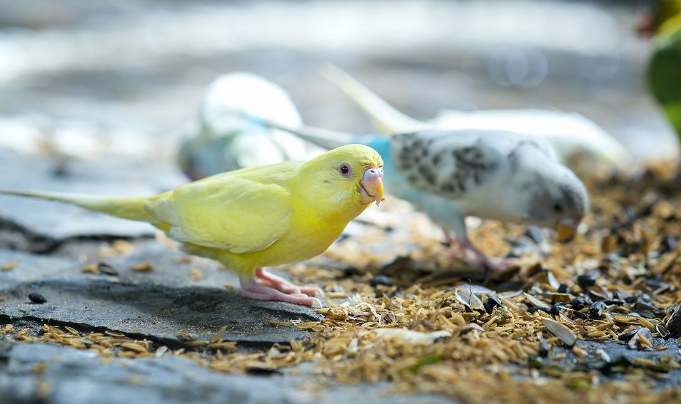 do canaries need grit