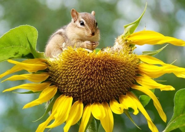 chipmunk eating flower
