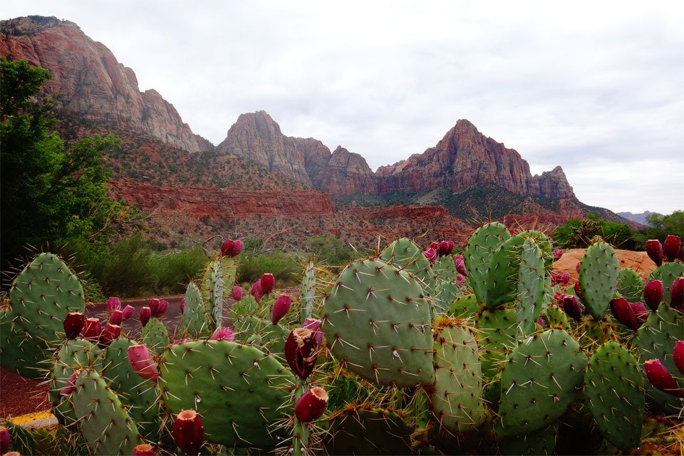 This grouping was captured at Zion National Park. This types of cacti belongs to the growth classification of flattened cacti, and is classified in the taxonomic subfamily known as