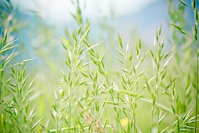 pointed fescue grass