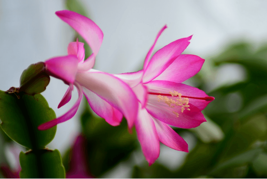 types of cacti: christmas cactus