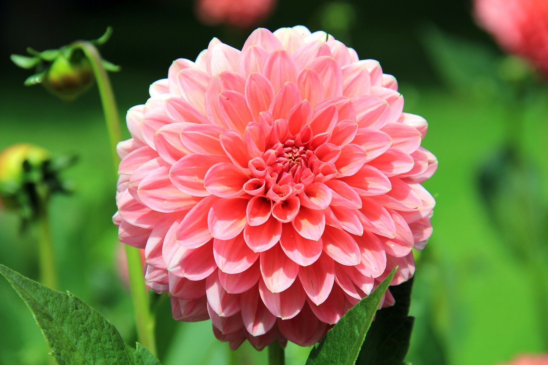 A large pink flower that you can grow when you buy Flower seeds online