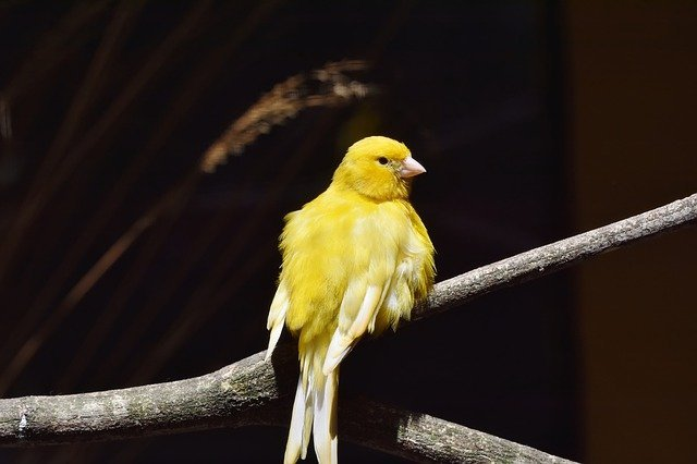 canary diseases