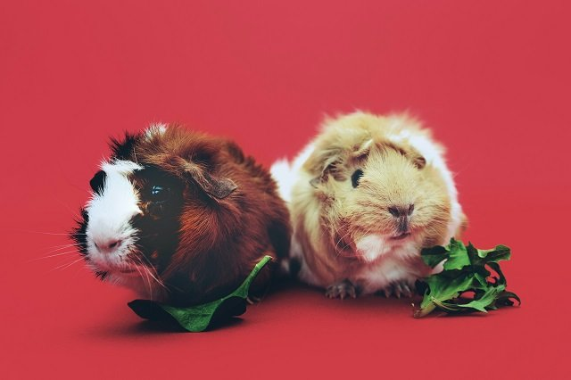 small types of guinea pigs