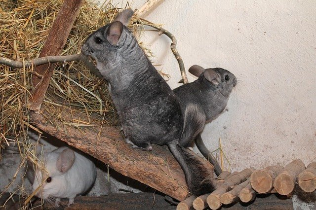 can chinchillas eat carrots
